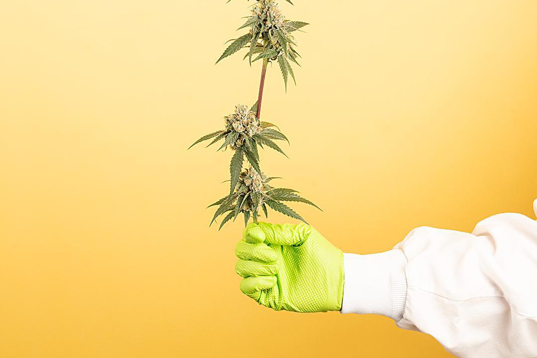 The Ins and Outs of Cannabis Terpenes