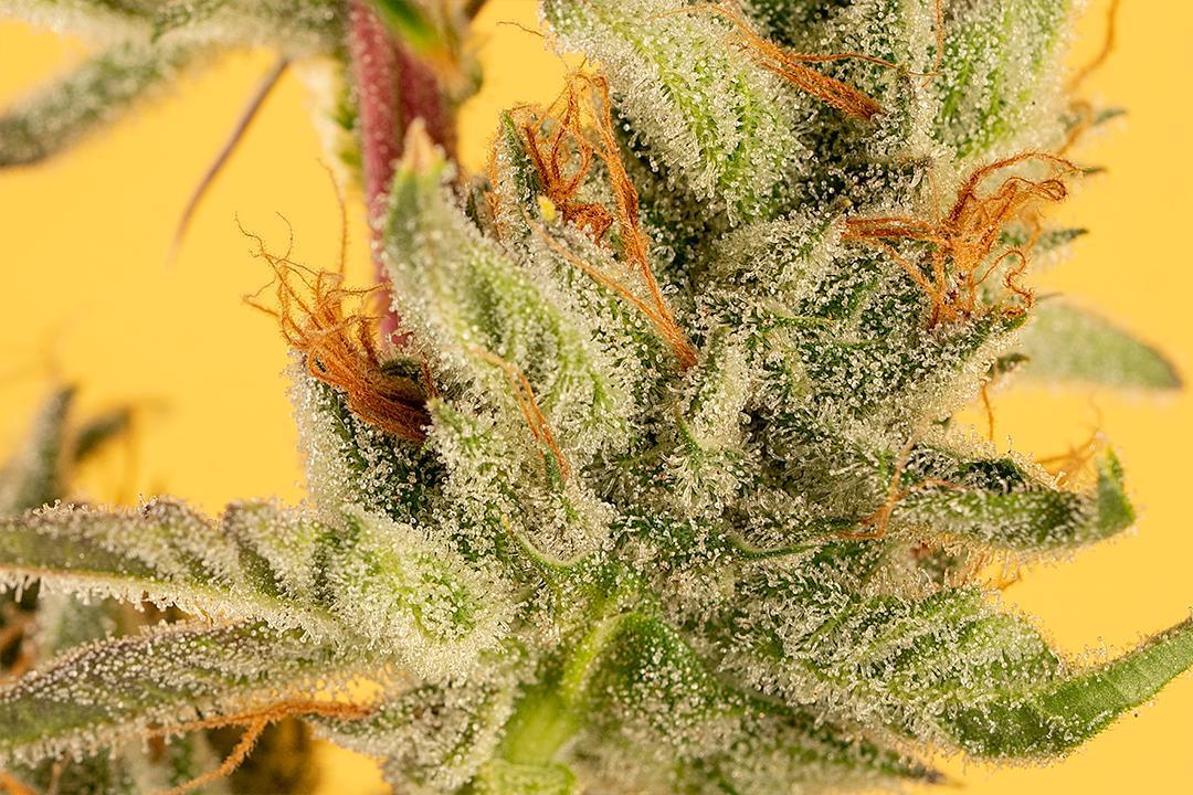 Haze, Skunk, and Kush: Cannabis' Foundation